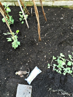 planting sweet peas