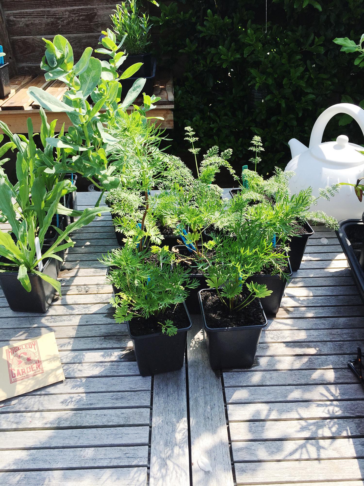 hardy annual plants