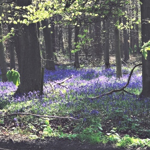 Wood with Bluebells